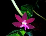 273_Tricoglottis_Philippinensis_Black_orchid_web