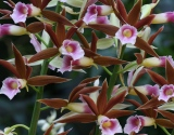 Swamp_orchid_2011_websize_IMG_8049
