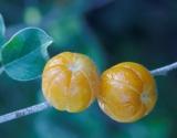 _Quinine_Berries